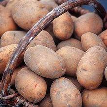 Сажаем картошку под зиму