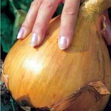 Выращиваем сладкий лук Эксибишен