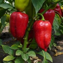 Выращивание сладких перцев в теплице