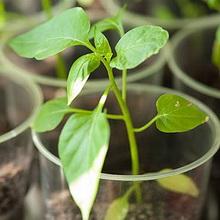 Рассадный способ выращивания баклажан