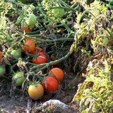 Лекция 26. Вам помидоры или ботву?