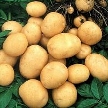 Лекция 17. Семенной картофель